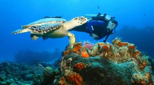 live-mexico-cozumel-scuba-diving-hawksbill-turtle
